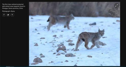 Not snow leopards.